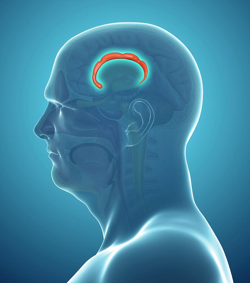 Artwork Photograph - Brain Anatomy by Pixologicstudio/science Photo Library