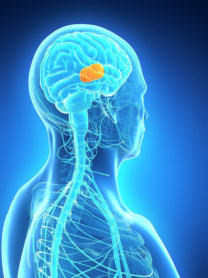 Artwork Photograph - Human Brain by Sebastian Kaulitzki