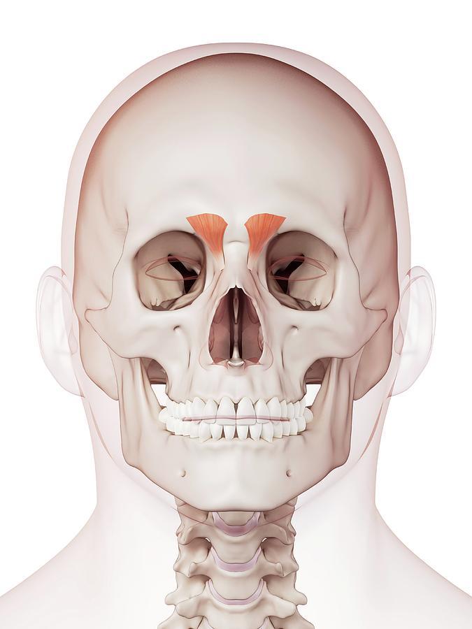Artwork Photograph - Human Facial Muscles by Sebastian Kaulitzki/science Photo Library