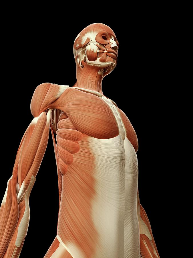 Artwork Photograph - Human Muscular System by Sebastian Kaulitzki