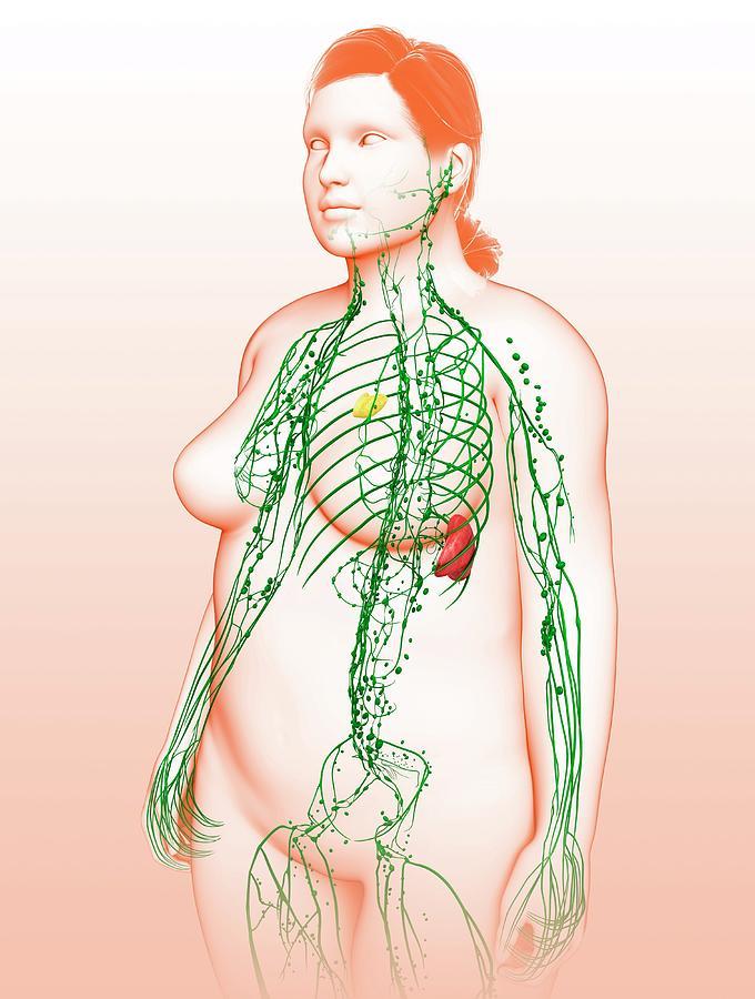 Female Lymphatic System Photograph By Pixologicstudioscience Photo