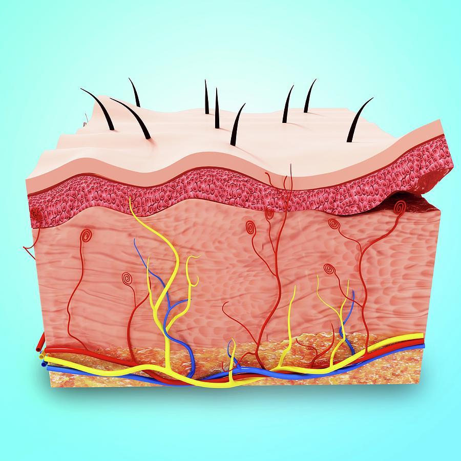 Human Skin Anatomy Photograph By Pixologicstudioscience Photo Library