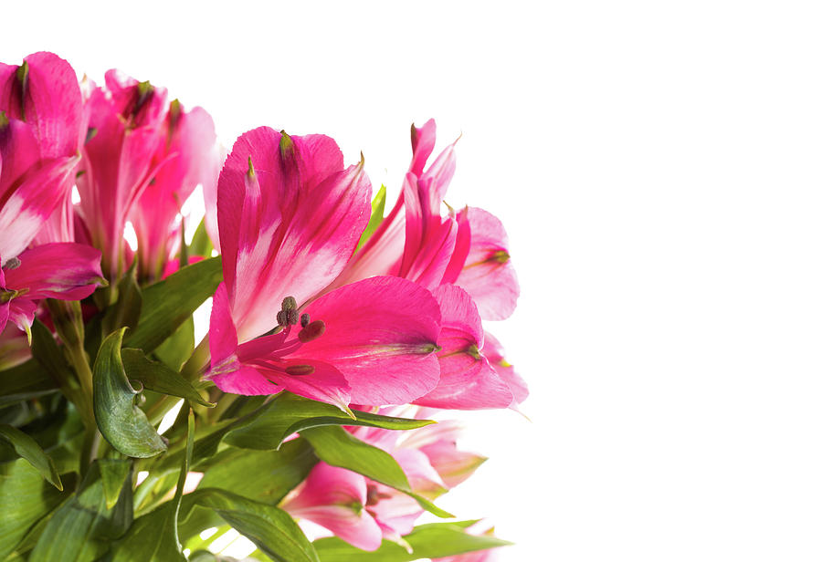 Alstroemeria flowers against white photograph by panoramic images horizontal photograph alstroemeria flowers against white by panoramic images mightylinksfo