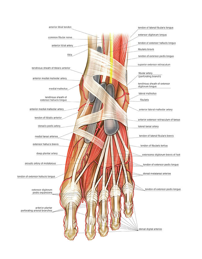 Arterial System Of The Foot Photograph by Asklepios Medical Atlas