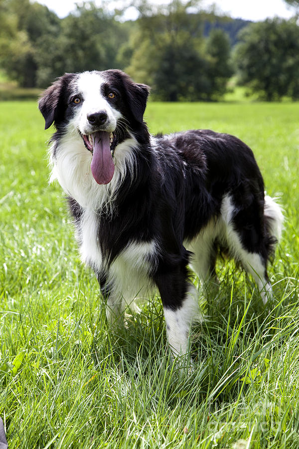 Dog Photograph - Border Collie In The Nature by Regina Koch