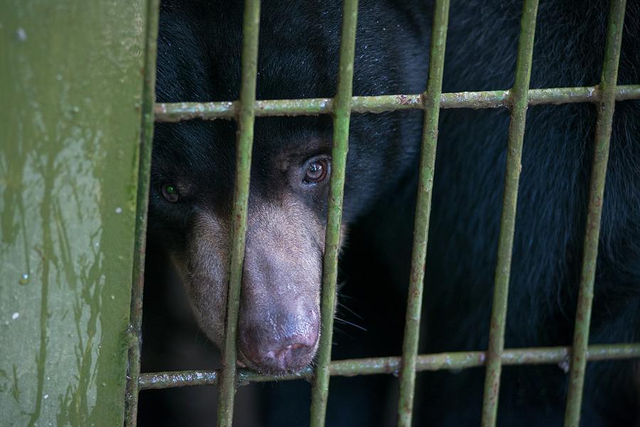 Animal Photograph - Bornean Sunbear (captive) by Scubazoo