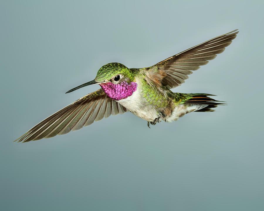 Broadtail Photograph - Broadtail Hummingbird by Gregory Scott