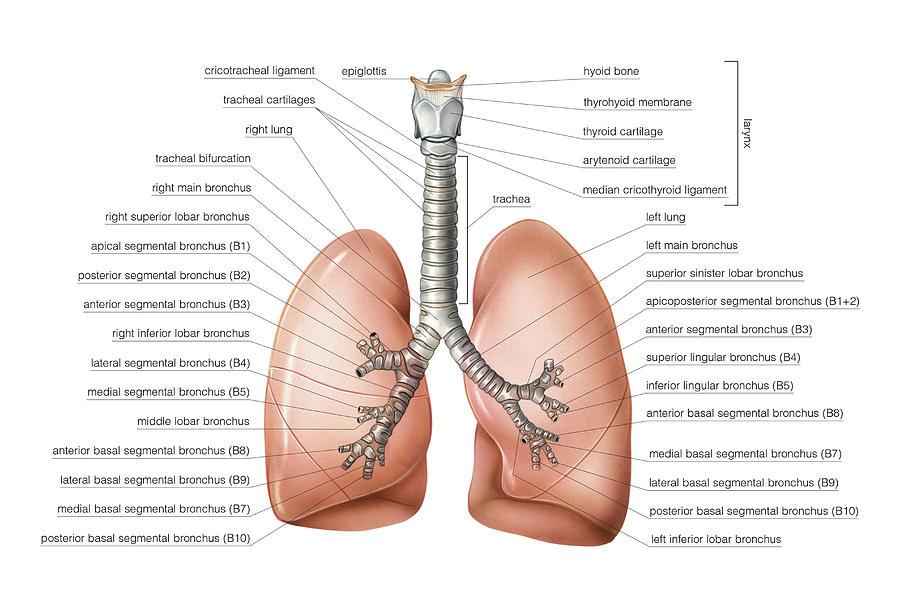 Bronchial Tree Photograph by Asklepios Medical Atlas
