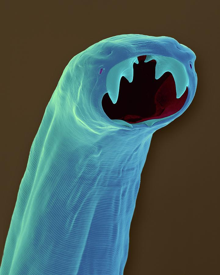 Hookworm Photograph - Cat Hookworm (ancylostoma Braziliense) by Dennis Kunkel Microscopy/science Photo Library