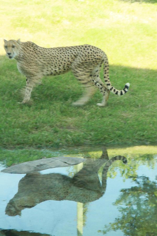 Nature Photograph - Cheetah by Tinjoe Mbugus