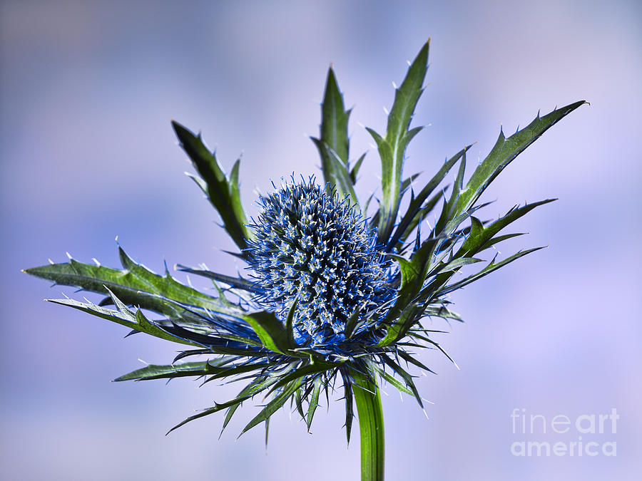 Close Up Of A Prickly Blue Thistle Blossom Flower Photograph By