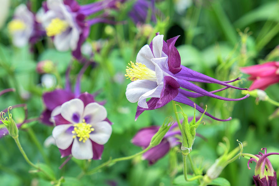 Columbine Flowers Usa Photograph By Lisa S Engelbrecht
