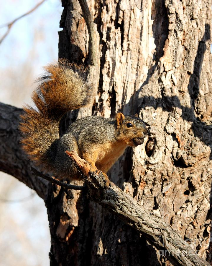 Nature Photograph - Eastern Fox Squirrel by Jack R Brock