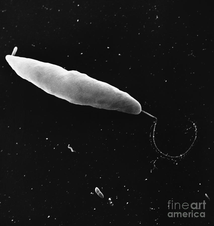 Biology Photograph - Euglena, Sem by David M. Phillips