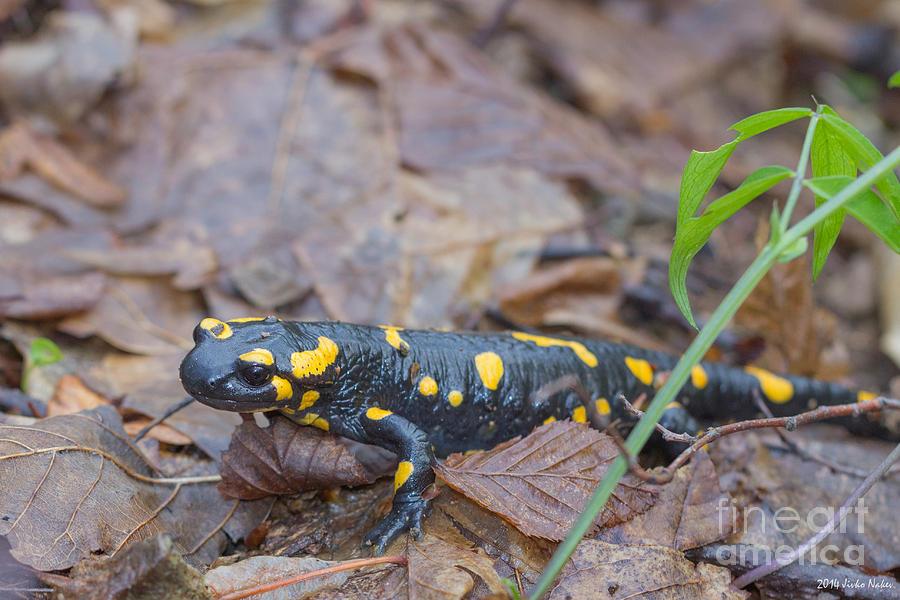 Bulgaria Photograph - Fire Salamander by Jivko Nakev
