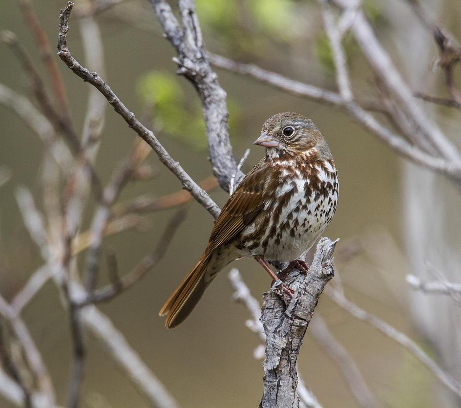Doug Lloyd Photograph - Fox Sparrow by Doug Lloyd