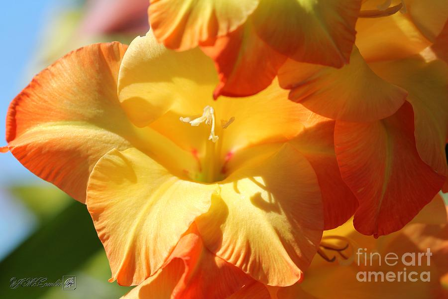 Glads Photograph - Gladiolus Named Halloween by J McCombie