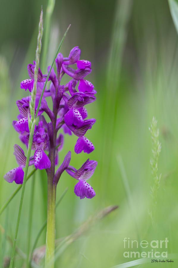 Bulgaria Photograph - Green-winged Orchid by Jivko Nakev