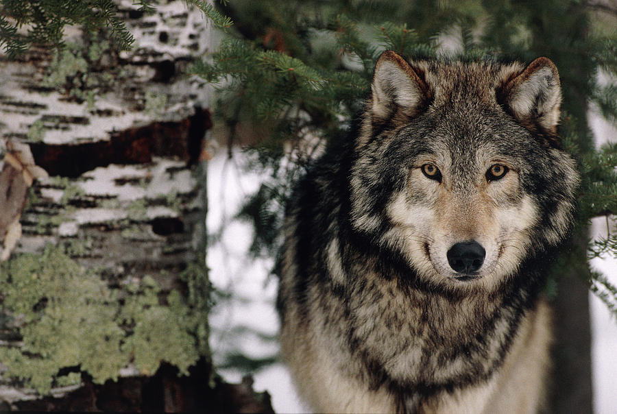 Grey Wolf Photograph - Grey Wolf by William Ervin/science Photo Library