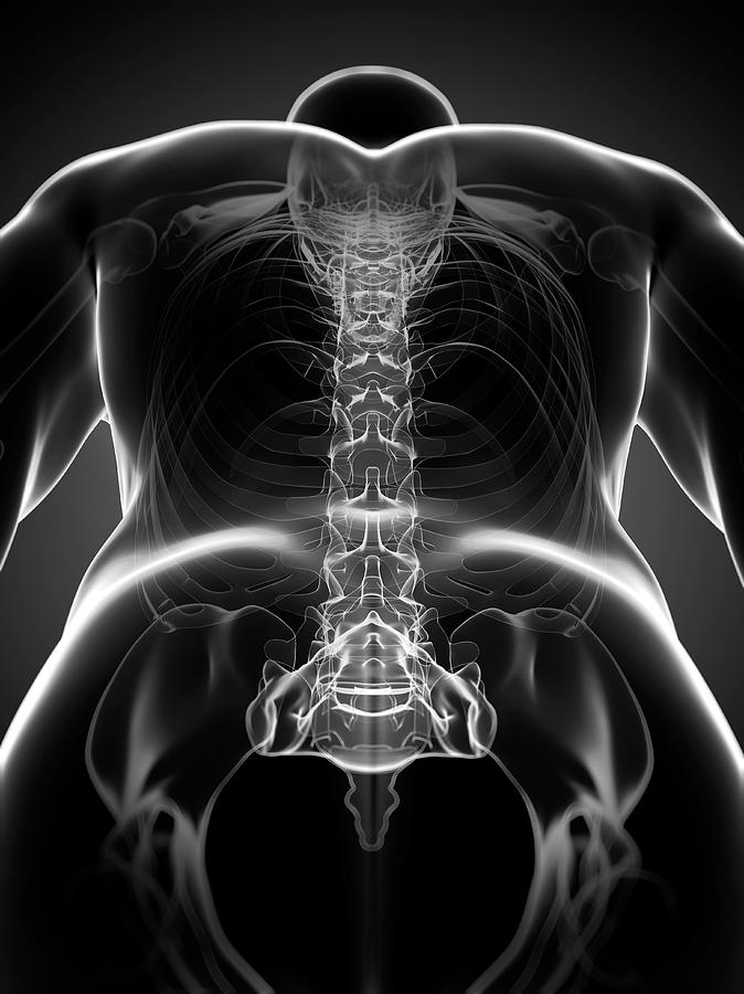 Healthy Photograph - Healthy Spine by Sciepro/science Photo Library