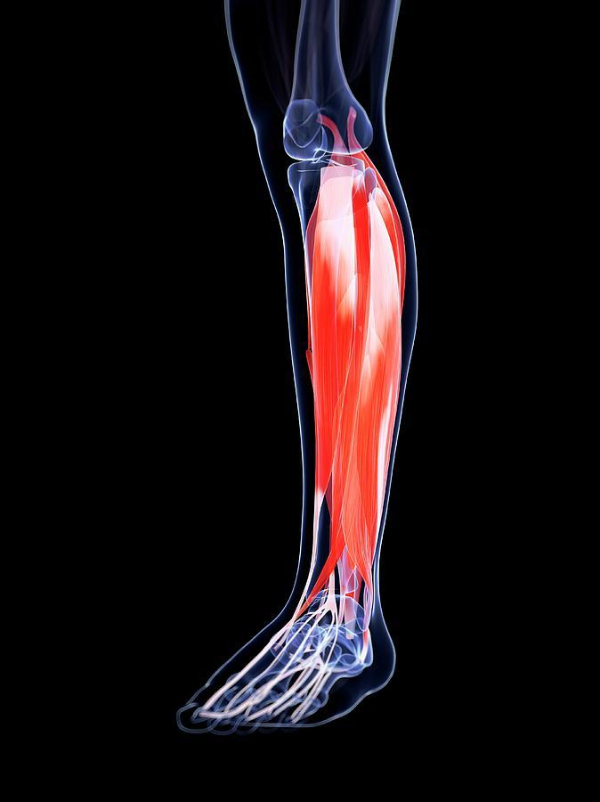 Artwork Photograph - Human Calf Muscles by Sebastian Kaulitzki