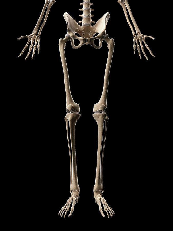 Human Leg Bones Photograph by Sebastian Kaulitzki