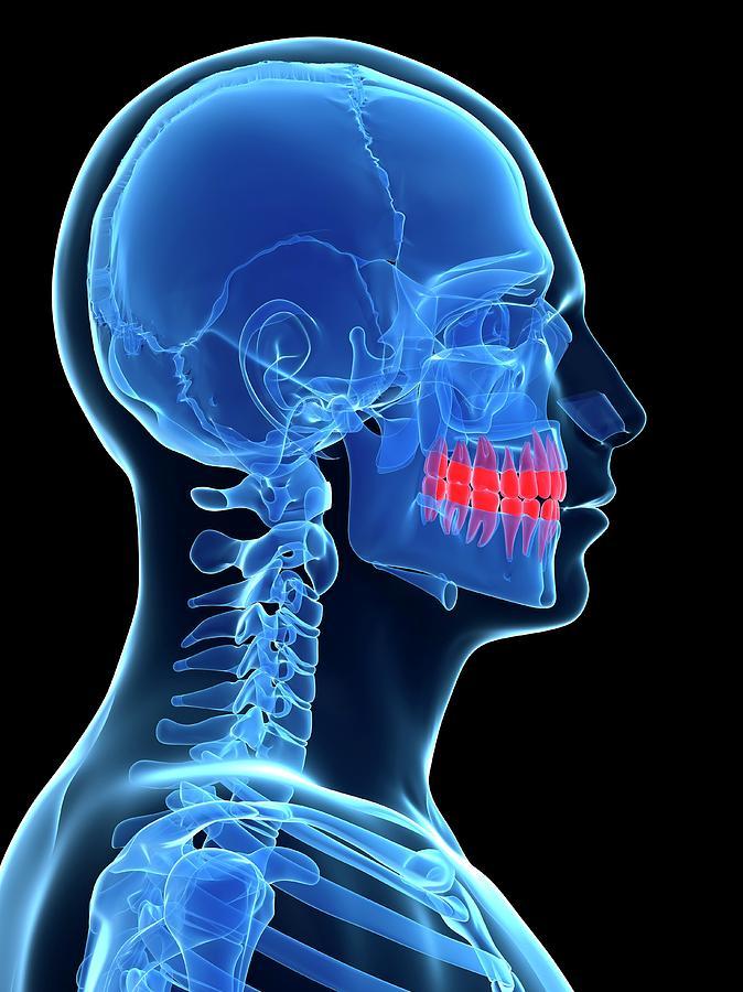 Artwork Photograph - Human Teeth by Sebastian Kaulitzki