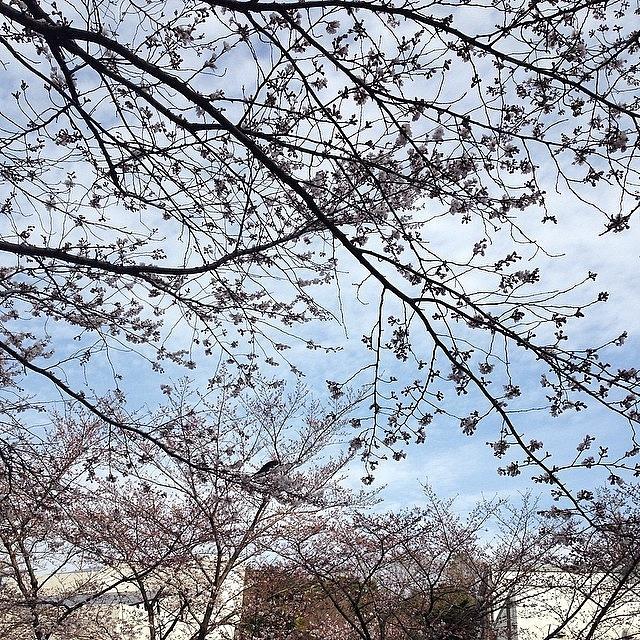 Landscape Photograph - #landscape Cherryblossoms by Tokyo Sanpopo