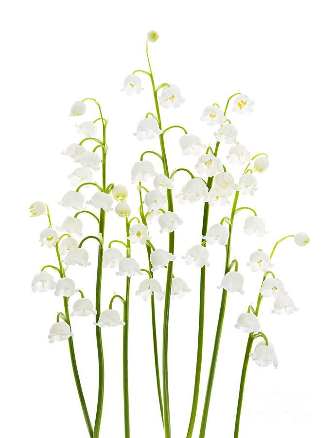 Flower Photograph - Lily-of-the-valley flowers arrangement by Elena Elisseeva