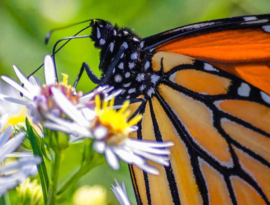 Monarch Butterfly Photograph by Brian Stevens