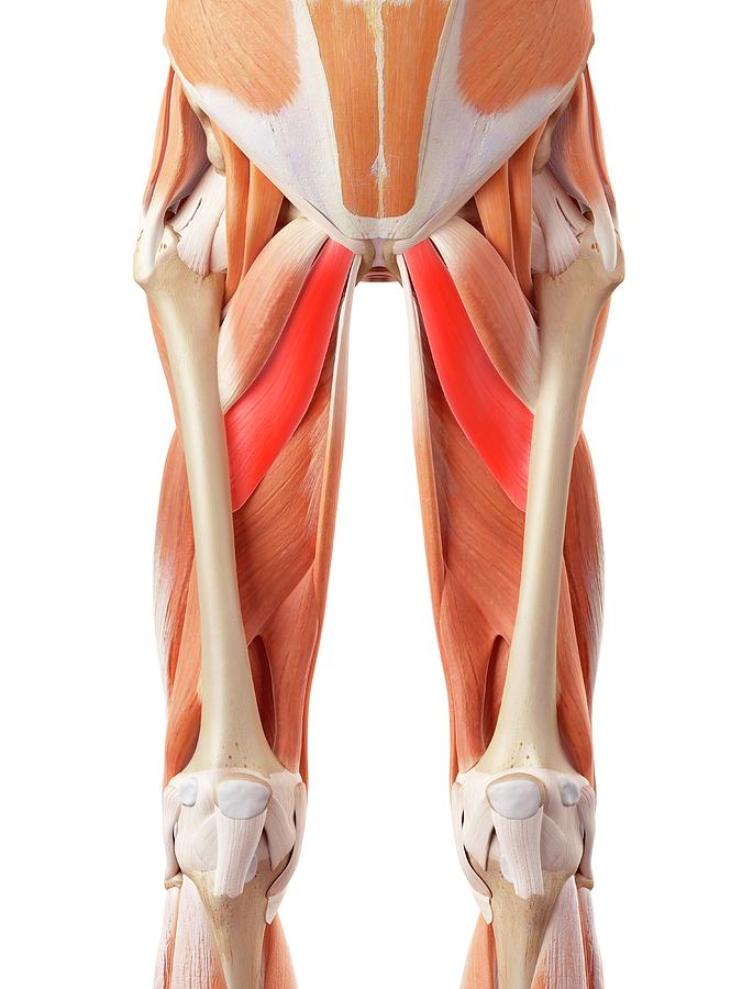 Artwork Photograph - Muscular System Of Legs by Sebastian Kaulitzki/science Photo Library