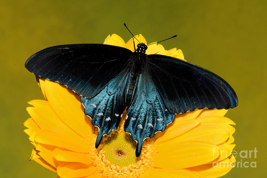 Swallowtail Photograph - Pipevine Swallowtail Butterfly by Millard H. Sharp