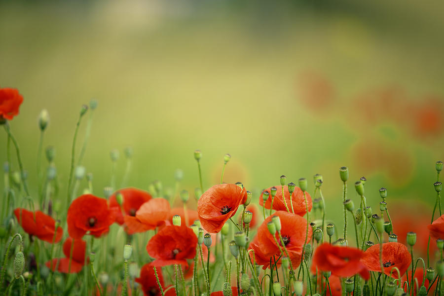 Poppy Meadow Photograph