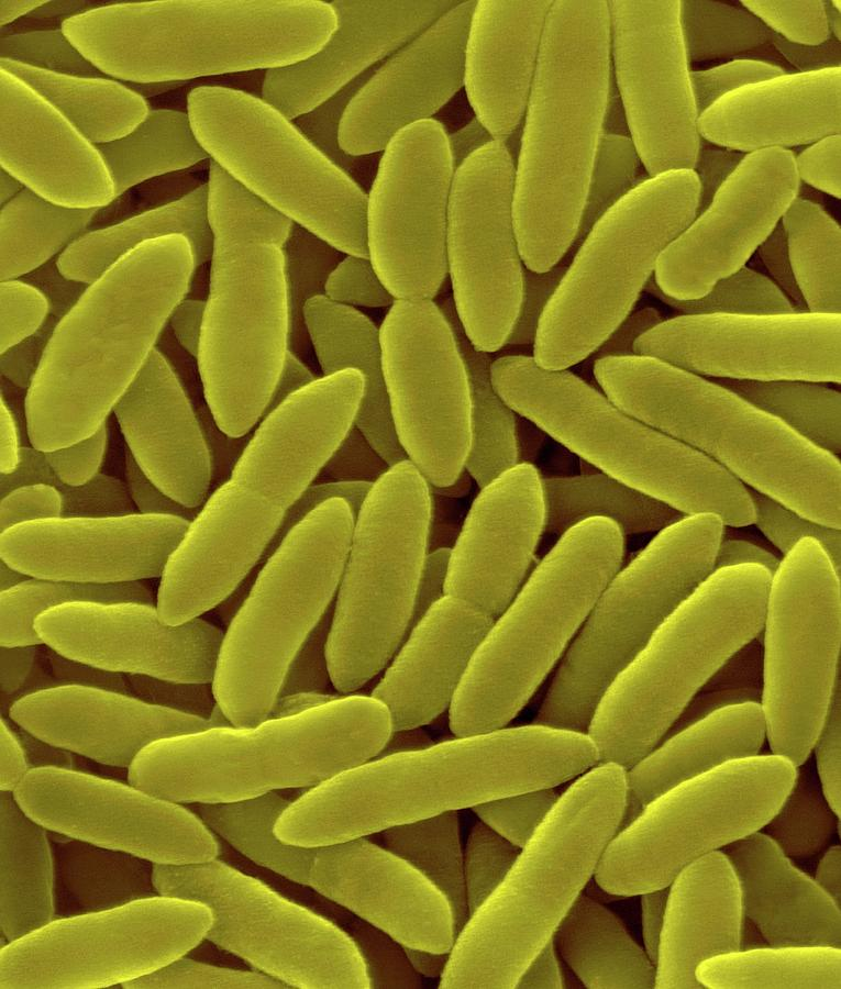 Bacilli Photograph - Pseudomonas Syringae by Dennis Kunkel Microscopy/science Photo Library