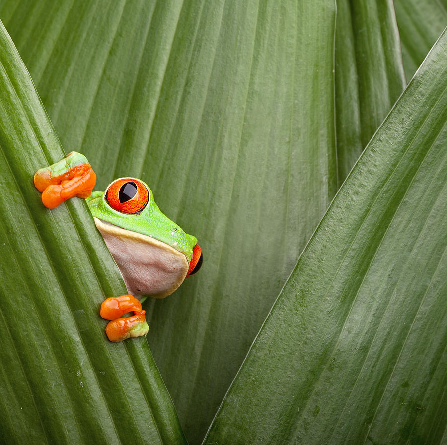 Amphibian Photograph - Red Eyed Tree Frog  by Dirk Ercken