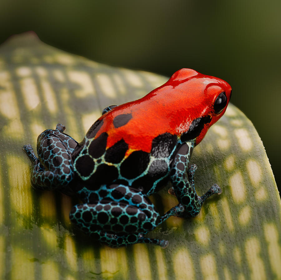 Amazon Photograph - Red Poison Dart Frog by Dirk Ercken