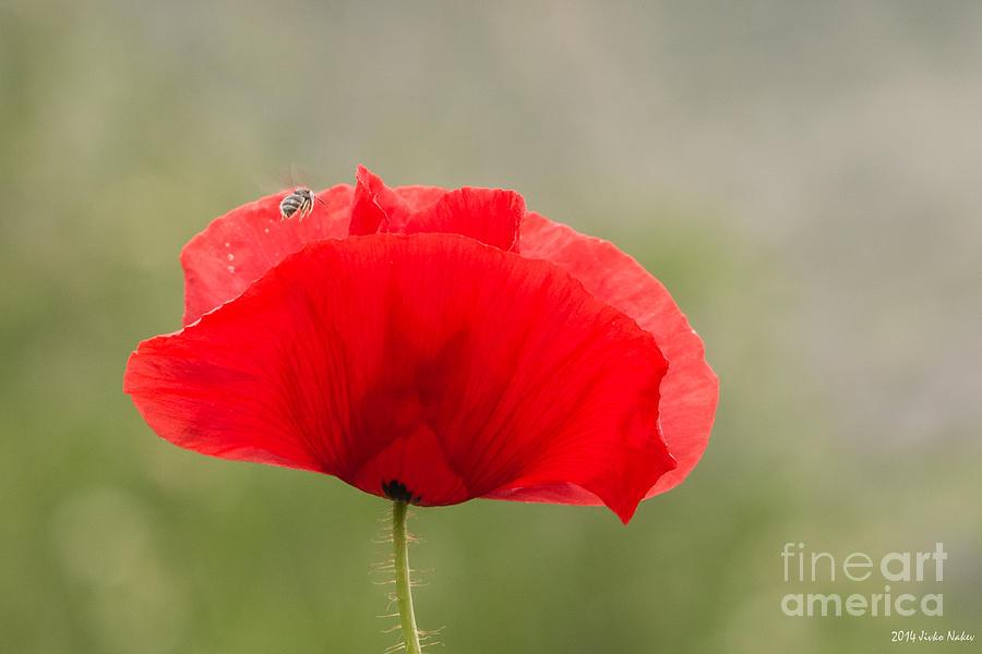 Red Poppy Photograph