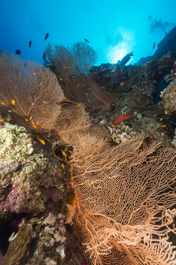 Colour Photograph - Sea Fan And Tropical Reef In The Red Sea. by Stephan Kerkhofs