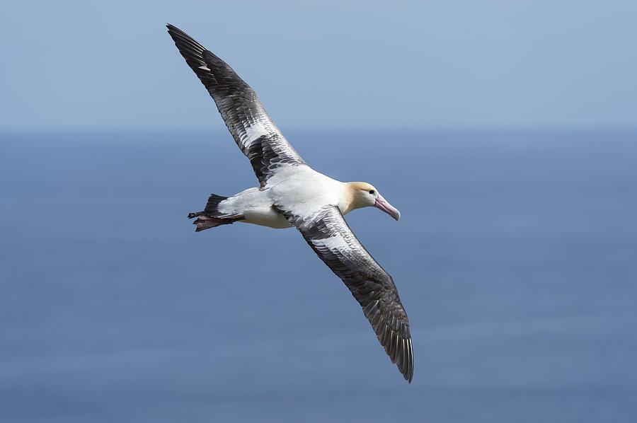 Short-tailed Albatross Flying Torishima Photograph by Tui De Roy