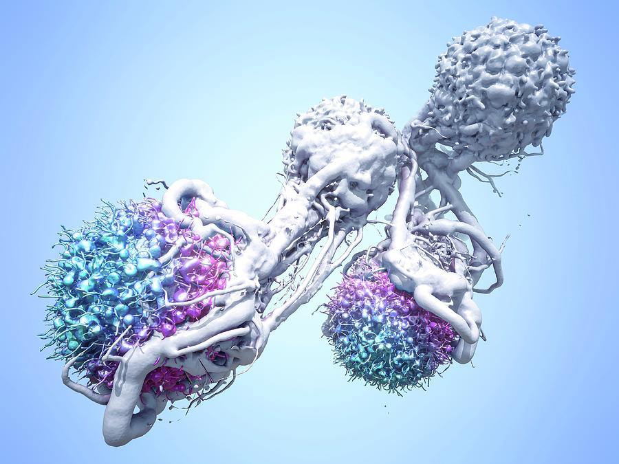 3-dimensional Photograph - T Cells Attacking Cancer Cells by Maurizio De Angelis