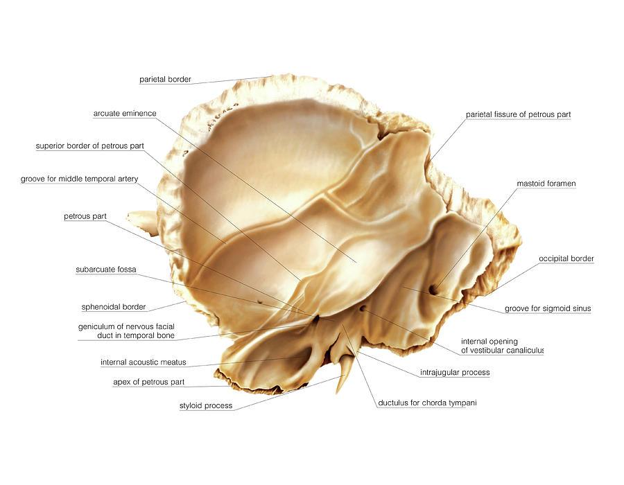 Temporal Bone Photograph by Asklepios Medical Atlas