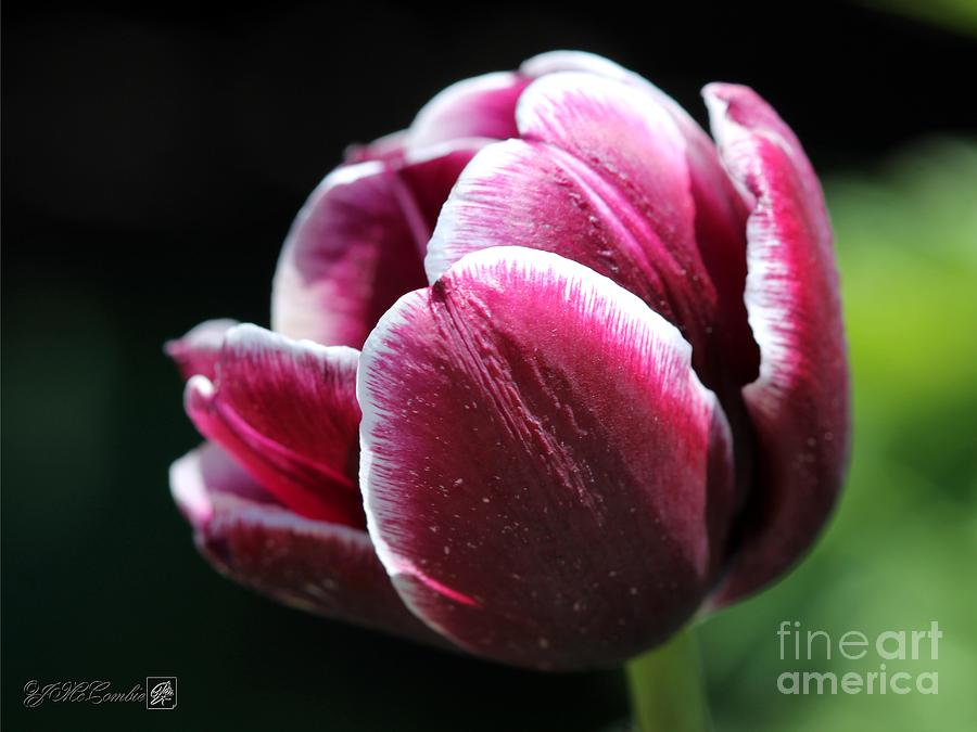 Tulipa Photograph - Triumph Tulip Named Jackpot by J McCombie