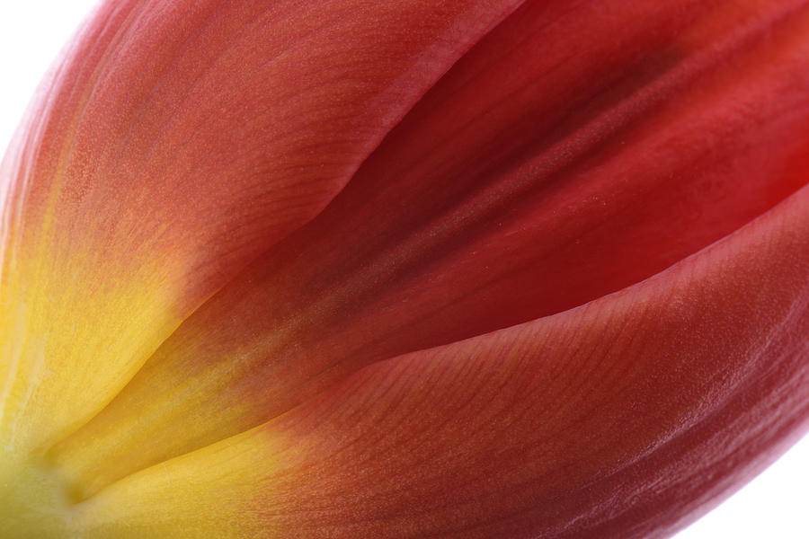 Beautiful Photograph - Tulip by Mark Johnson