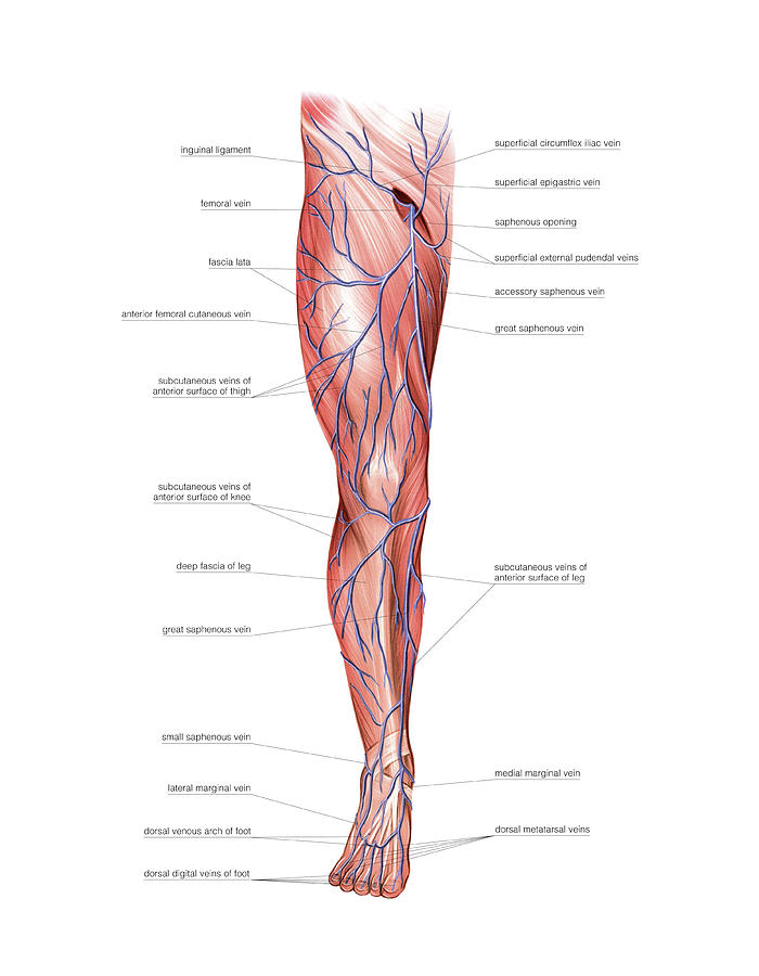 Venous System Of The Lower Limb Photograph By Asklepios Medical