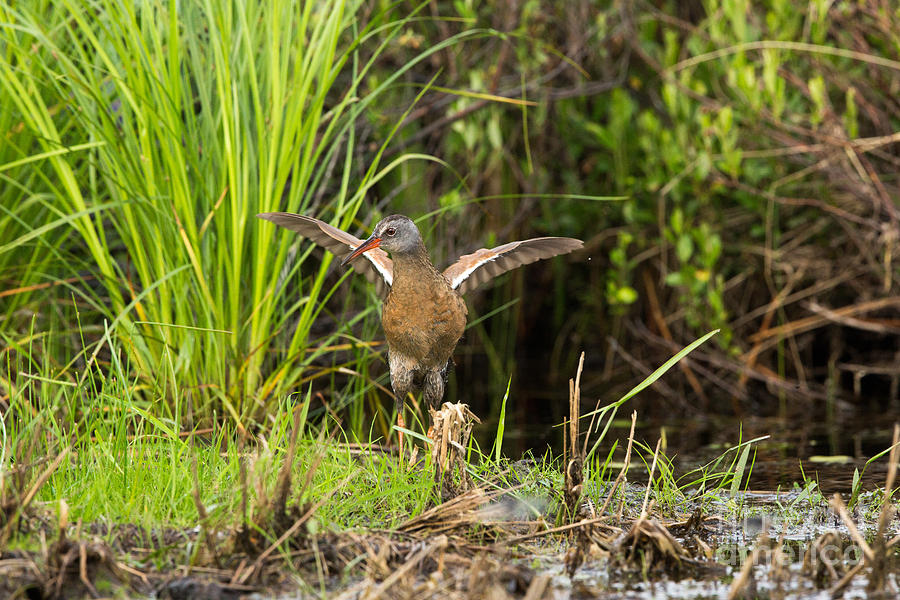 Animalia Photograph - Virginia Rail Rallus Limicola by Linda Freshwaters Arndt