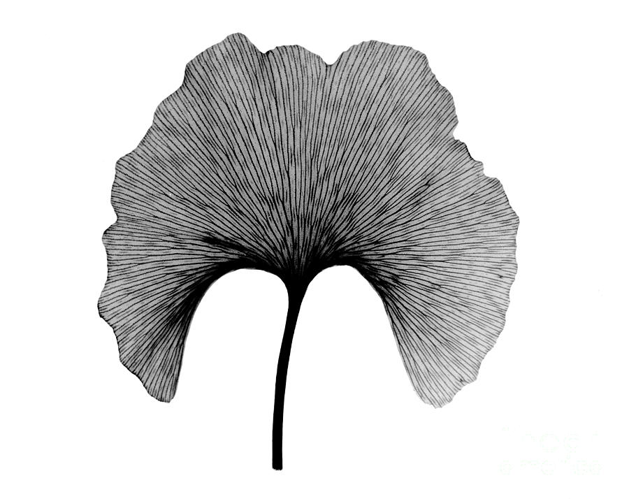 X Ray Of Ginkgo Leaf Photograph By Bert Myers