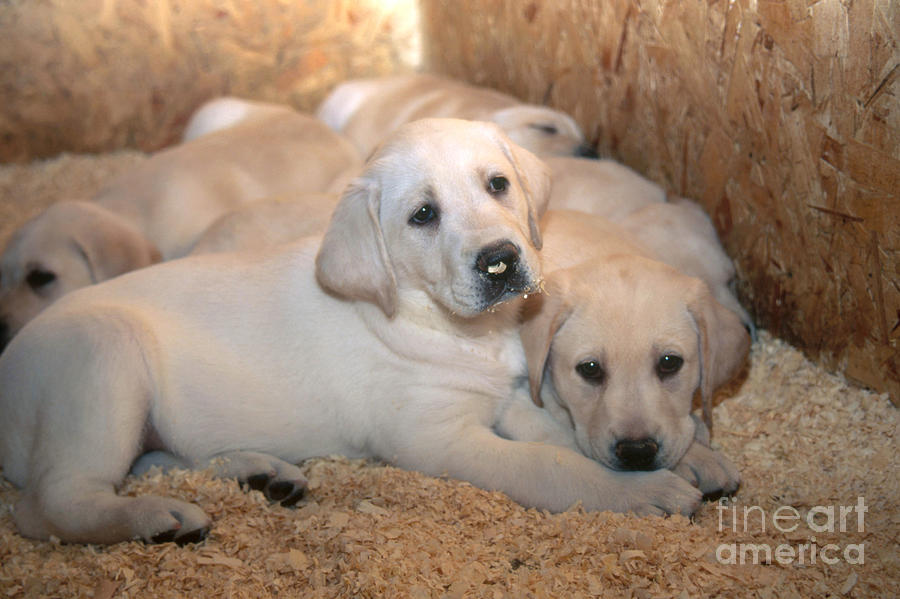Yellow Lab Photograph - Yellow Labrador Retriever Puppies by Linda Freshwaters Arndt