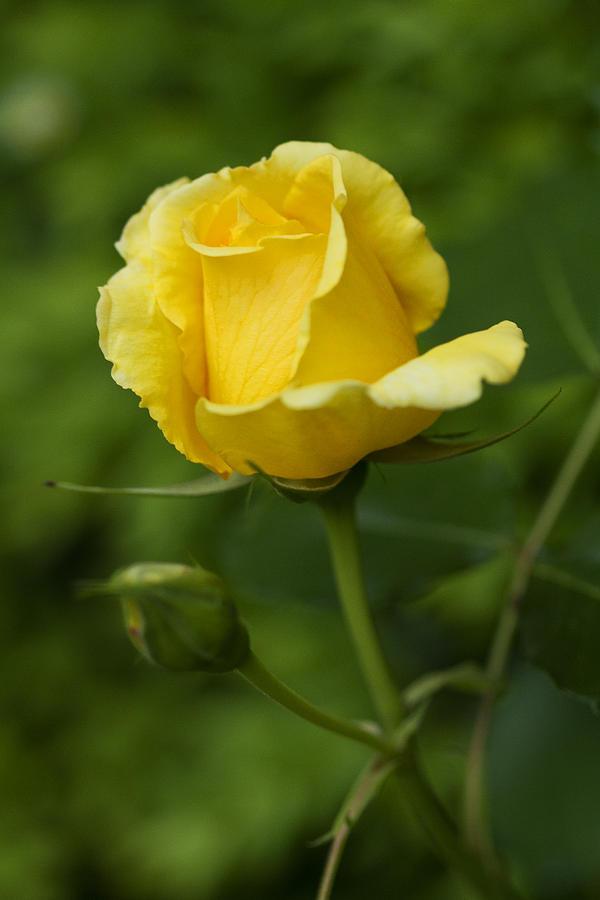 Rose Photograph - Yellow Rose by Anna Calvert