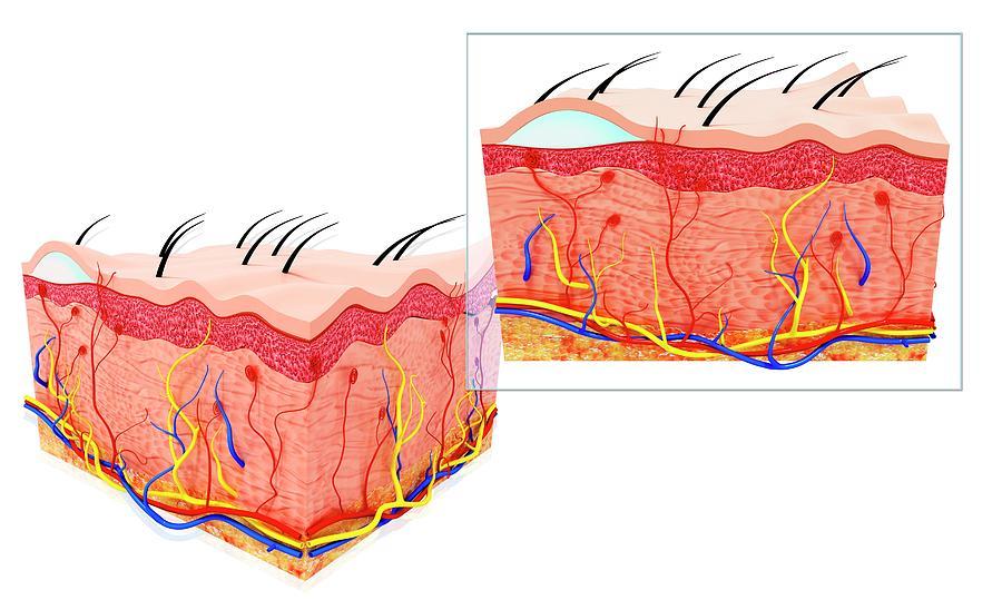 Artwork Photograph - Human Skin Anatomy by Pixologicstudio/science Photo Library