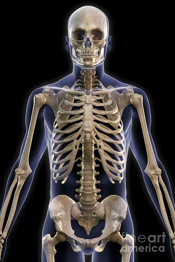 Bones Of The Upper Body Photograph By Science Picture Co